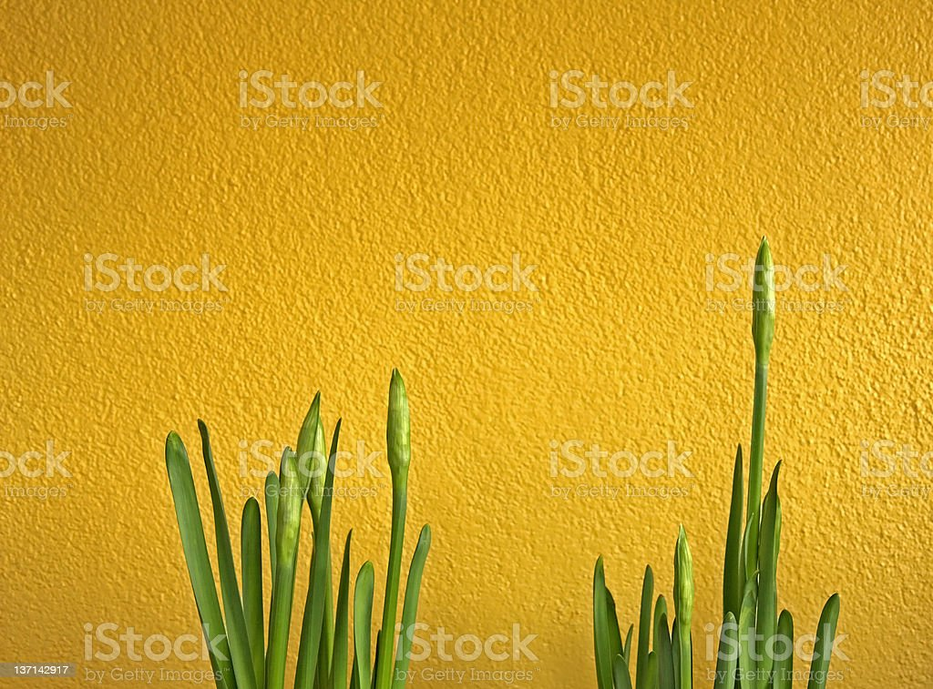 Narcissus Against Yellow Wall stock photo