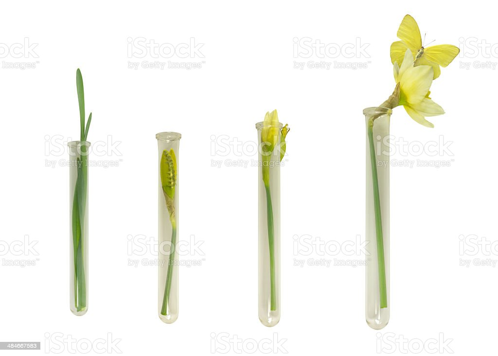 Narcissus and Butterfly Growth in Culture Tubes stock photo
