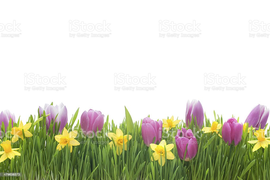 Narcissus and tulips flowers in green grass royalty-free stock photo