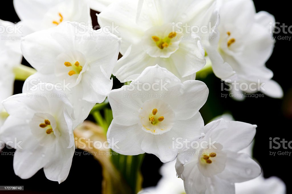 Narcissus Blooms (Closeup) stock photo