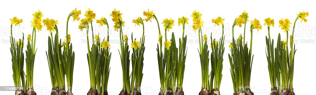 Narcissus border royalty-free stock photo