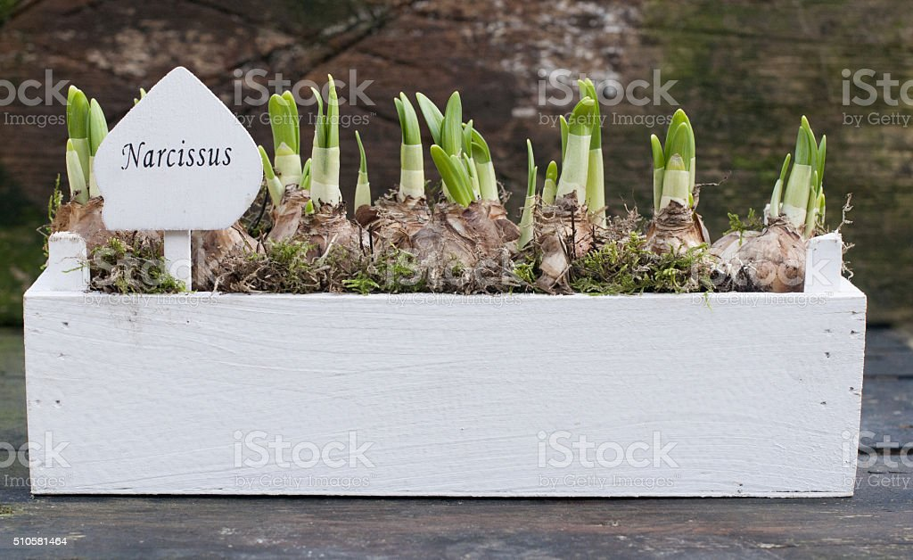 narcissus bulbs royalty-free stock photo