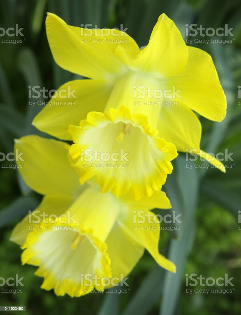 Narcissus Daffodil Flower Blossom Twins stock photo
