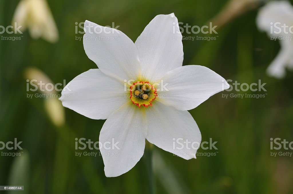 Narcissus, Daffodil, Narcissus poeticus stock photo