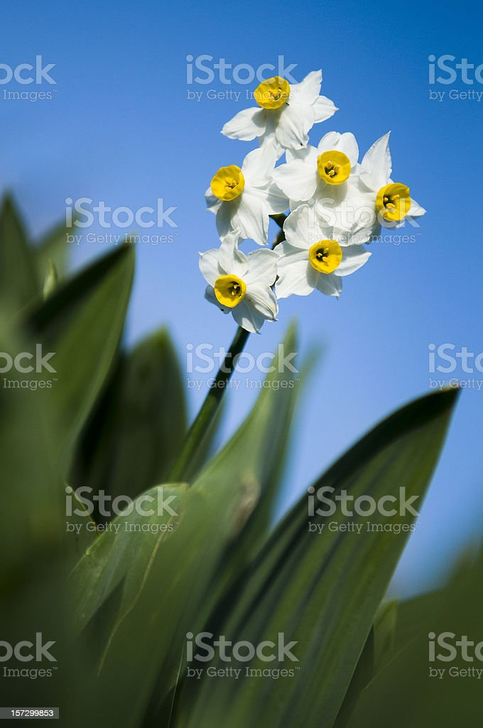 Narcissus, daffodil royalty-free stock photo
