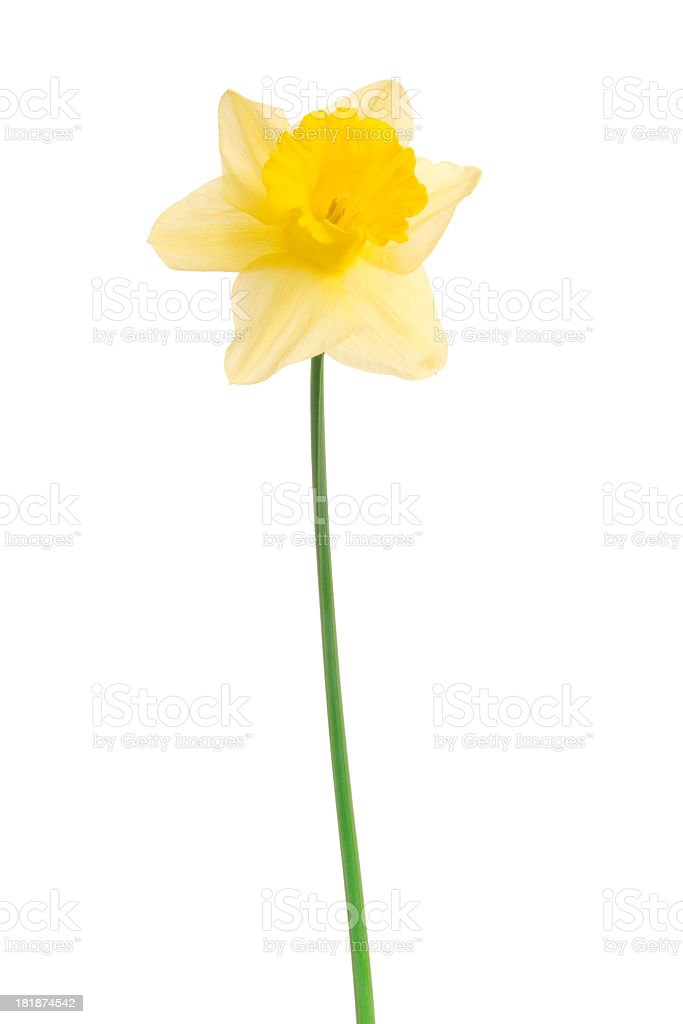 Narcissus. Daffodil. royalty-free stock photo