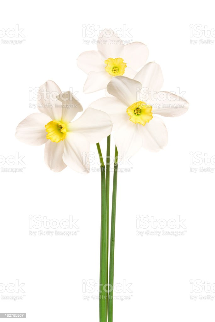 Narcissus. Daffodil. stock photo