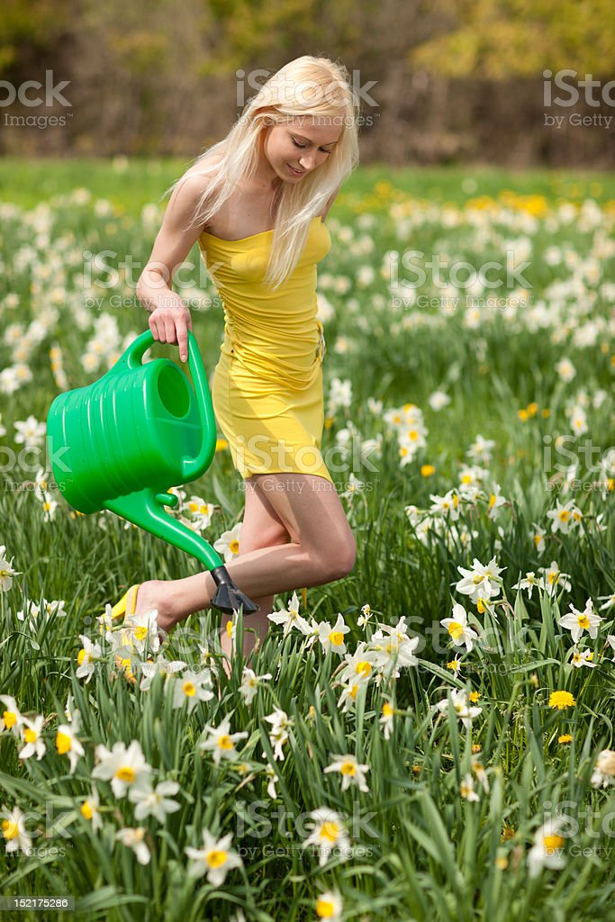 Narcissus field royalty-free stock photo
