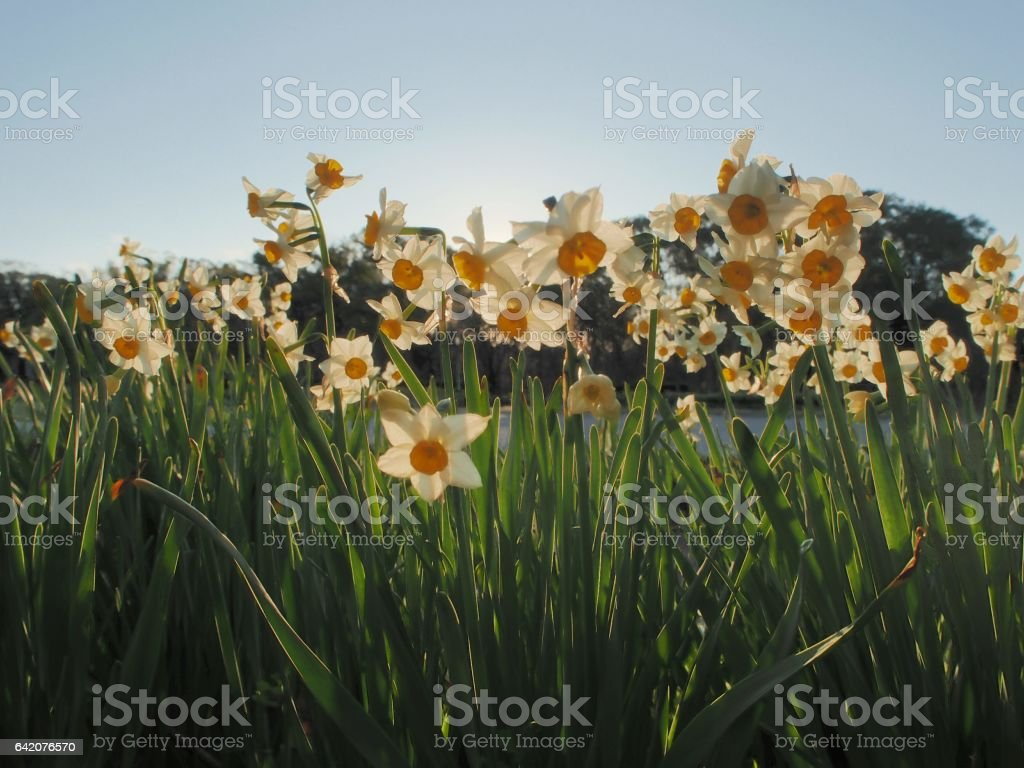 narcissus flower in a park stock photo