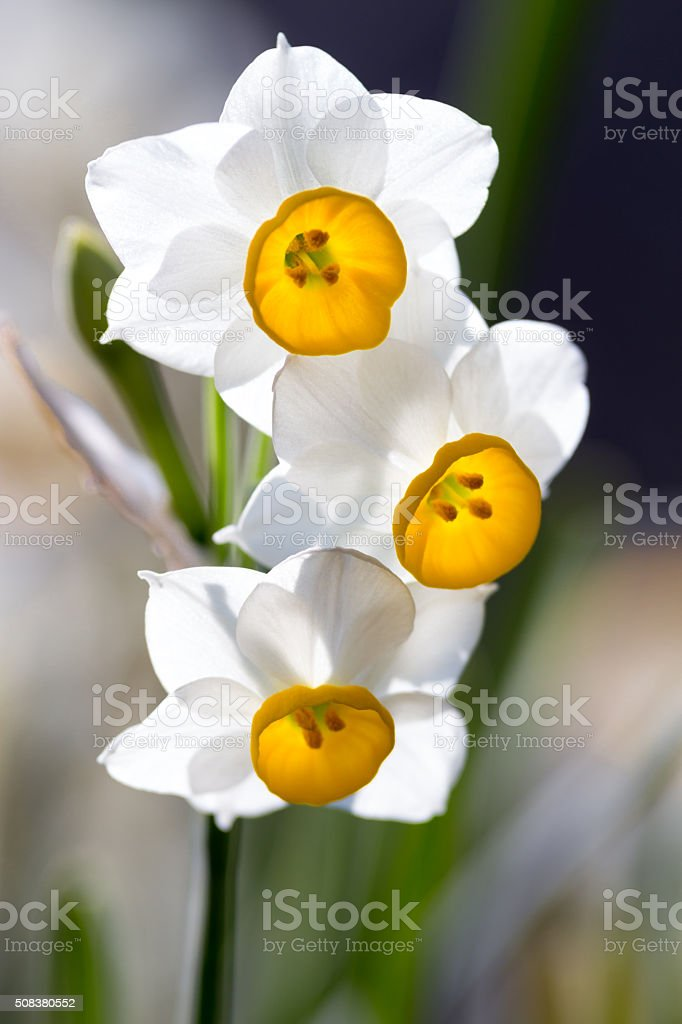 narcissus flower in spring stock photo