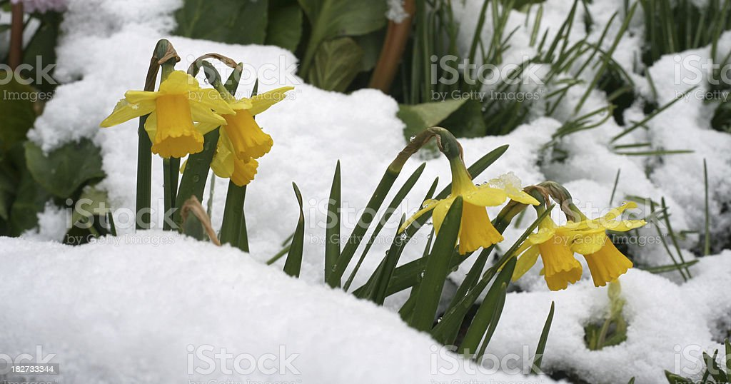 Narcissus flower royalty-free stock photo