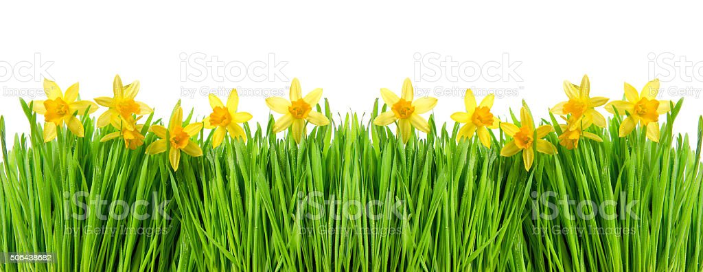 Narcissus flowers in green grass with water drops stock photo