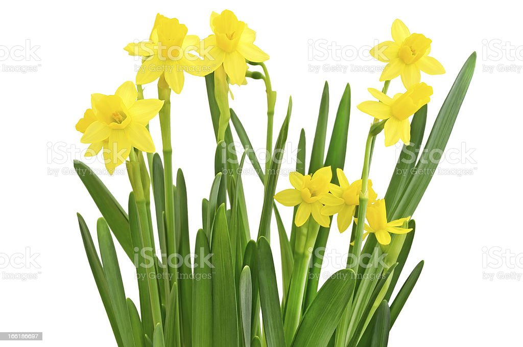 Narcissus flowers royalty-free stock photo
