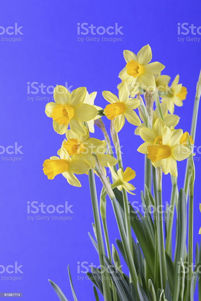 Narcissus for Easter royalty-free stock photo