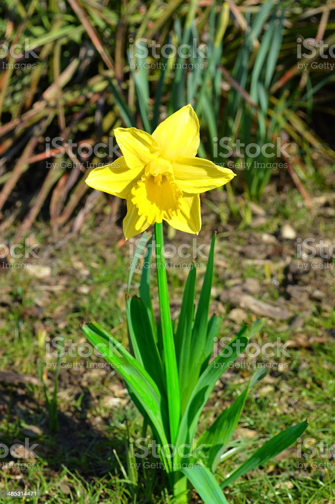 Narcissus Golden Lion stock photo