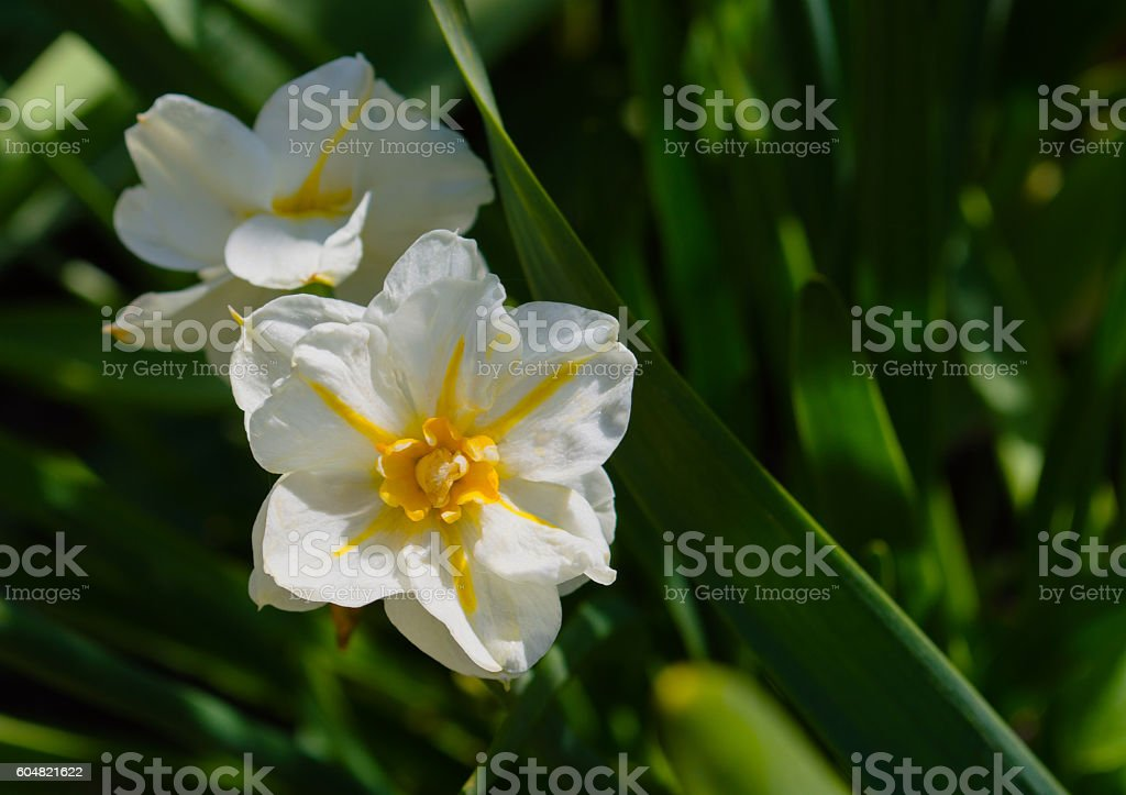 narcissus in bloom stock photo