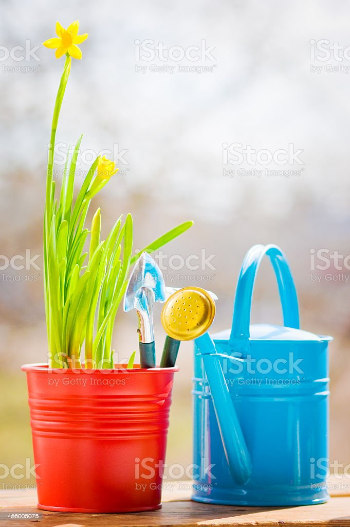 Narcissus in red pot with blue wateriing-can and shovel in spring royalty-free stock photo