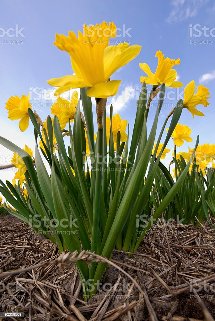 Narcissus in the Field royalty-free stock photo