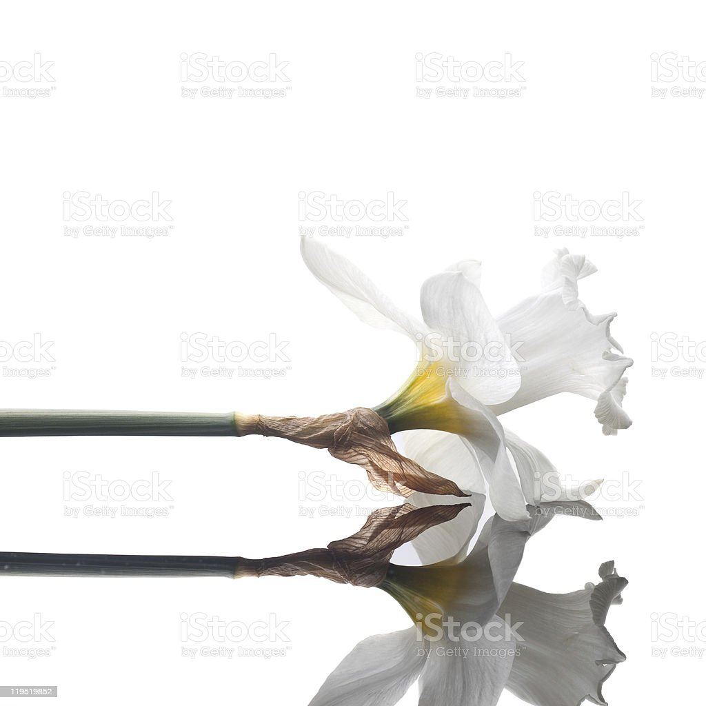 narcissus isolated on white background royalty-free stock photo