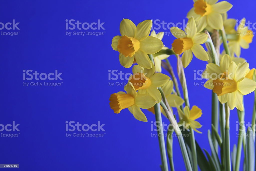 Narcissus on Right royalty-free stock photo