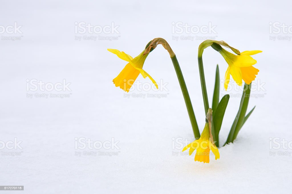 Narcissus on tne snow garden. stock photo