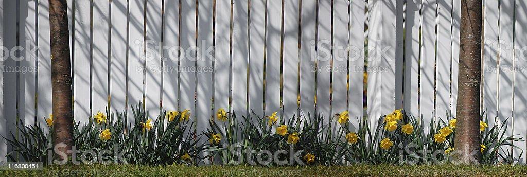 Narcissus Panorama stock photo
