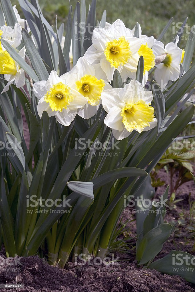 Narcissus. royalty-free stock photo