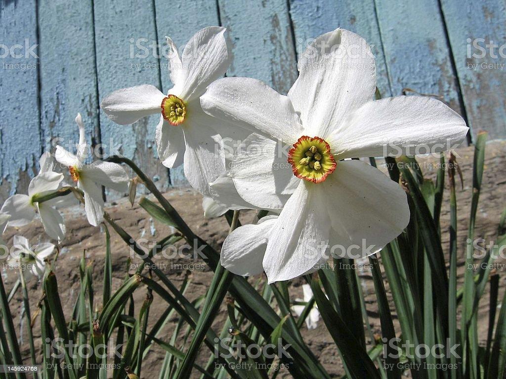 Narcissus ロイヤリティフリーストックフォト