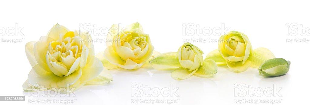 Narcissus (XXL) stock photo