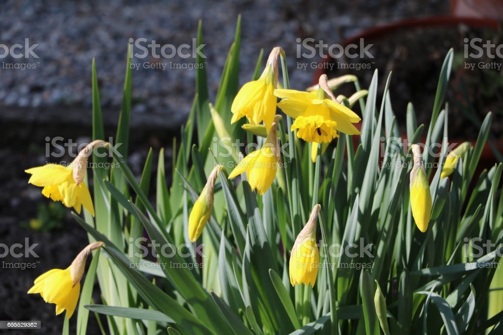 Narcissus pseudonarcissus bloom at Easter in the garden stock photo