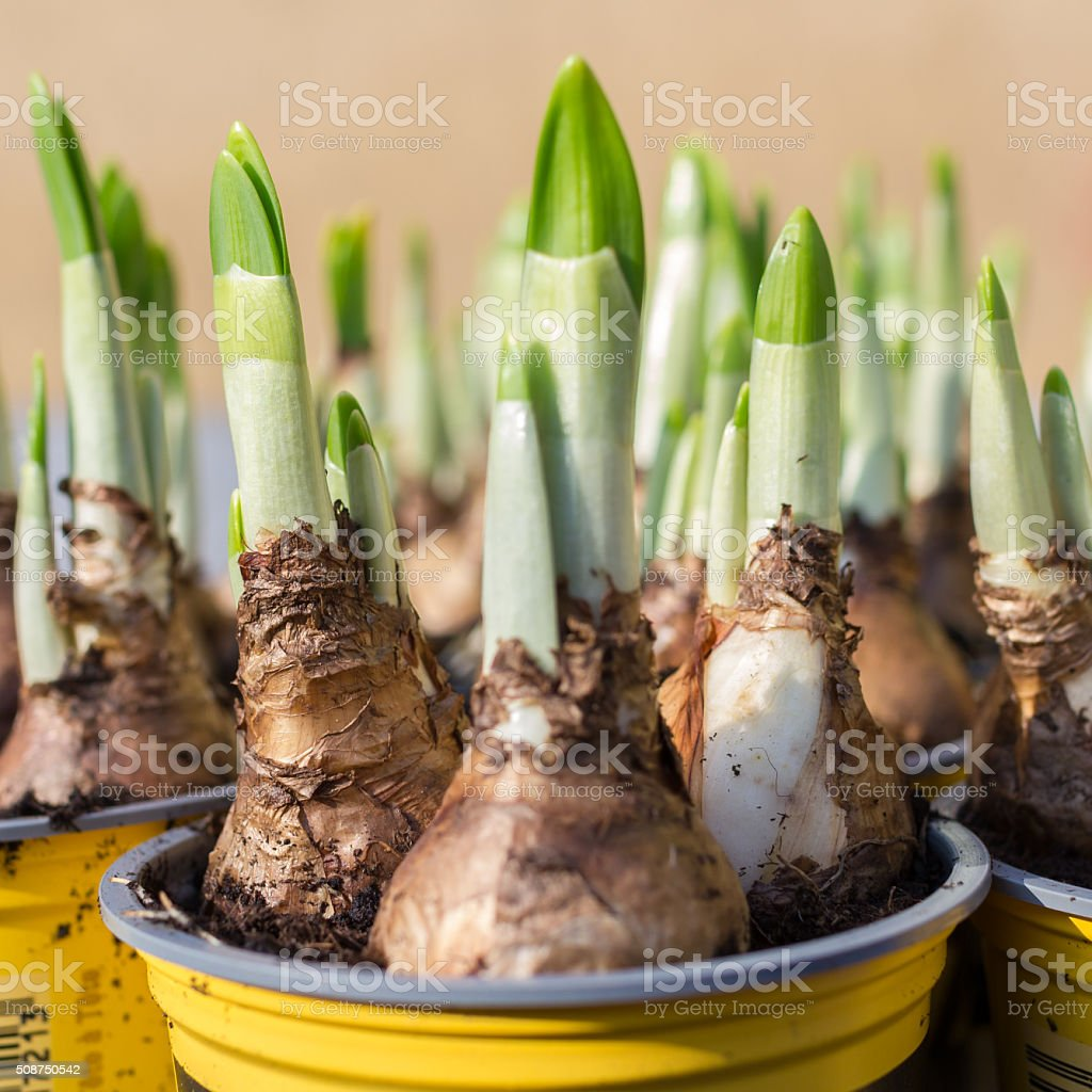 Narcissus root balls stock photo