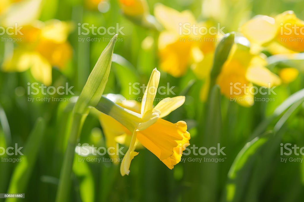 Narcissus spring yellow flowers on sunshine glade stock photo