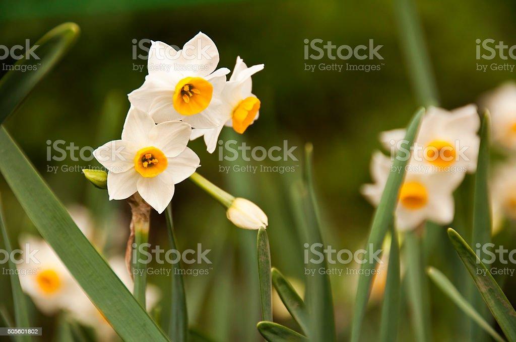 Narcissus tazetta in a garden in Japan stock photo