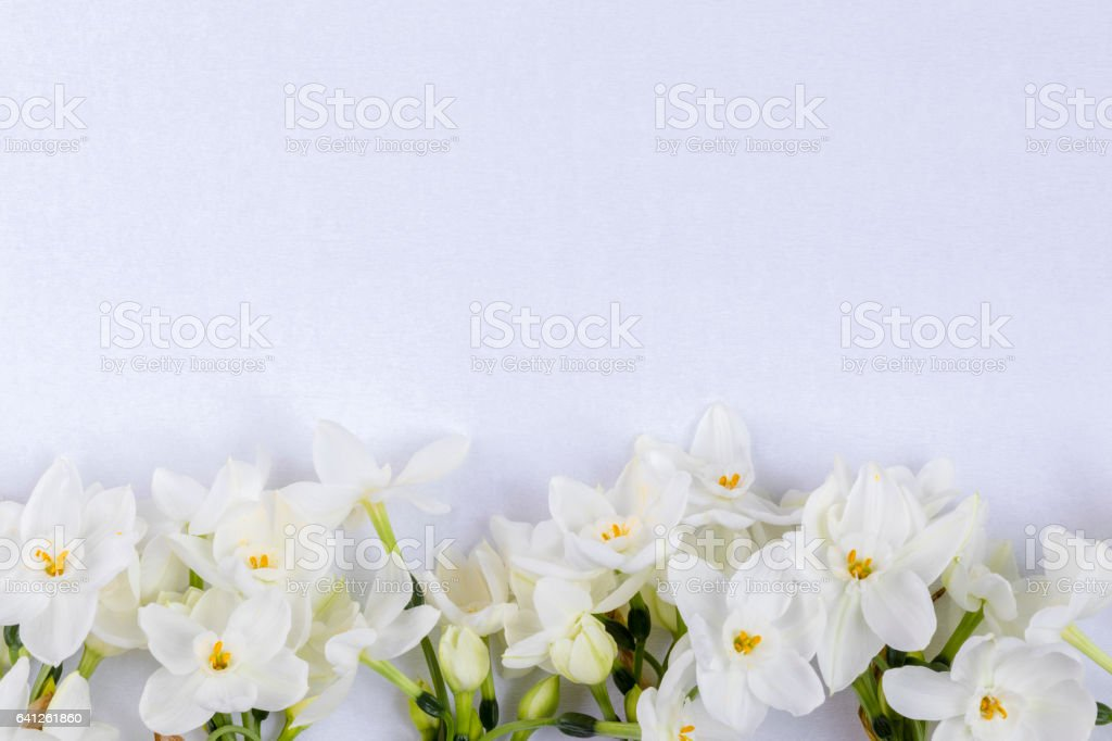 Narcissuses in line at the bottom on white background stock photo