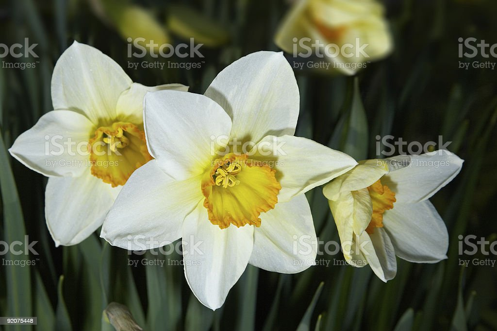 Narcissuses royalty-free stock photo