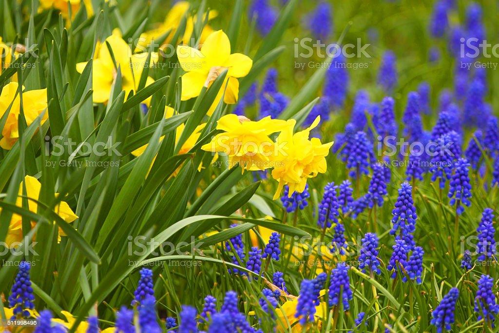 Narcissuses. The Blossoming Spring Flowers. stock photo