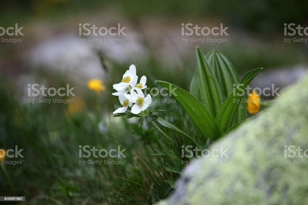 Narcissus-flowered anemone (Anemone narcissiflora stock photo