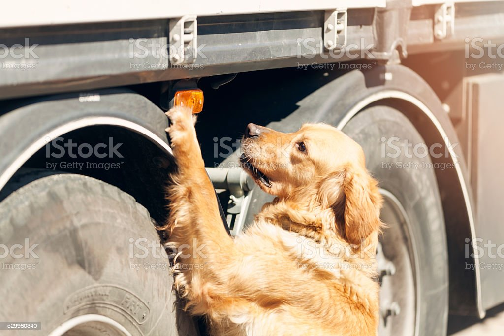 Narcotic dog dog searching drugs in trucking rig stock photo