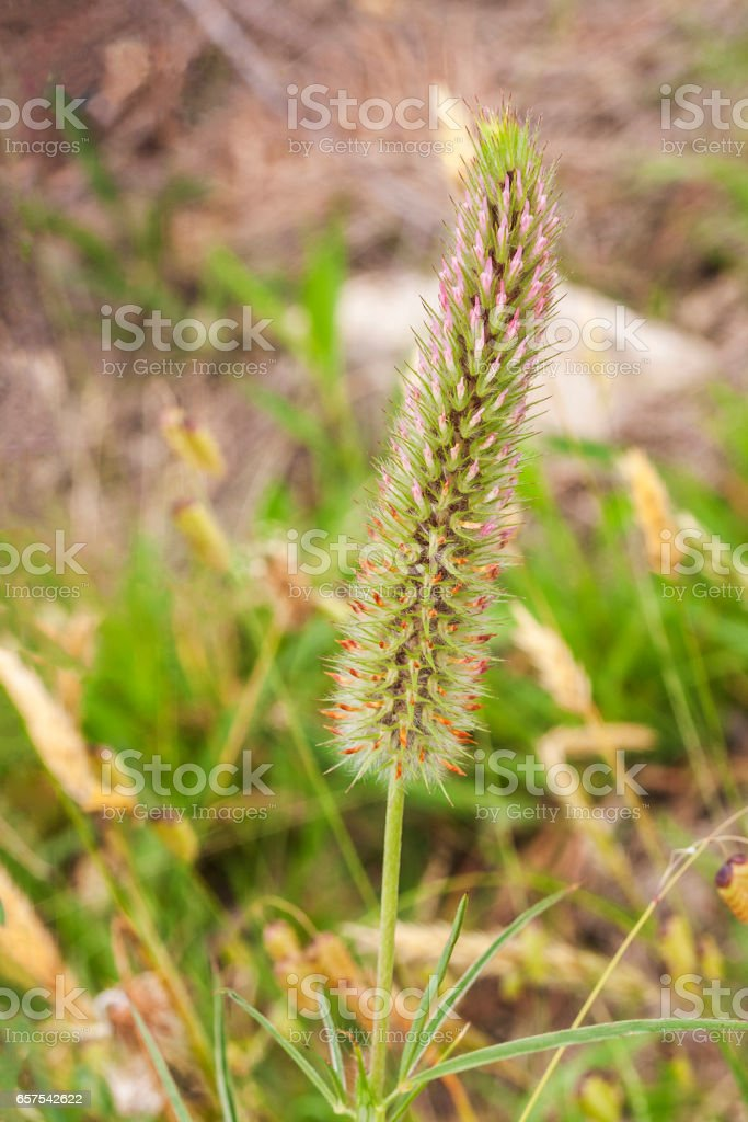 Narrow crimson clover stock photo