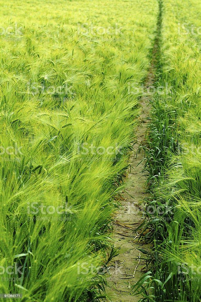 narrow path through a wheat field stock photo