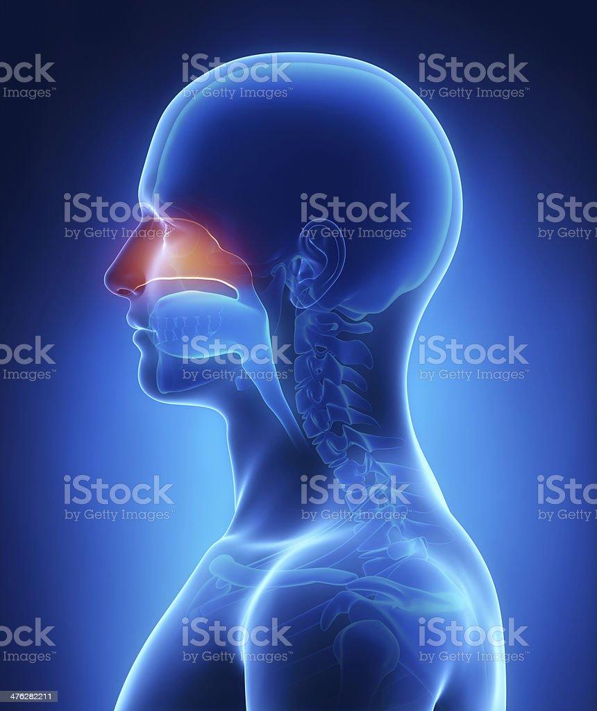 Nasal cavity royalty-free stock photo