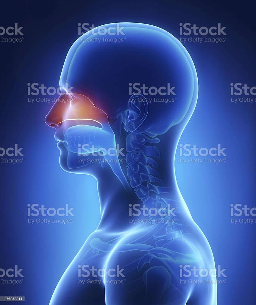 Nasal cavity stock photo