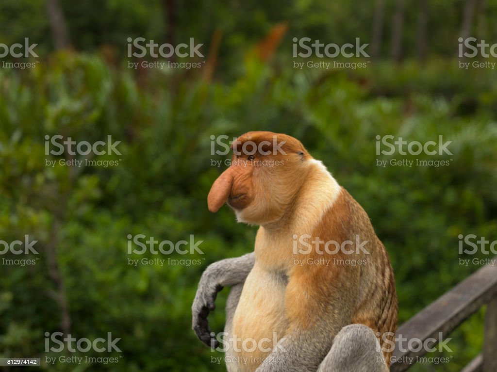 Nasalis larvatus - From Borneo Island stock photo