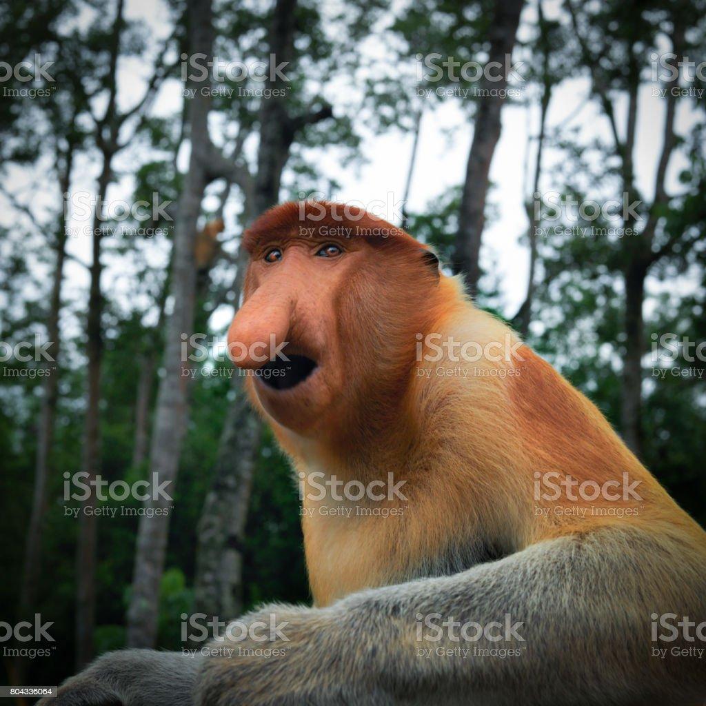 Nasalis larvatus stock photo