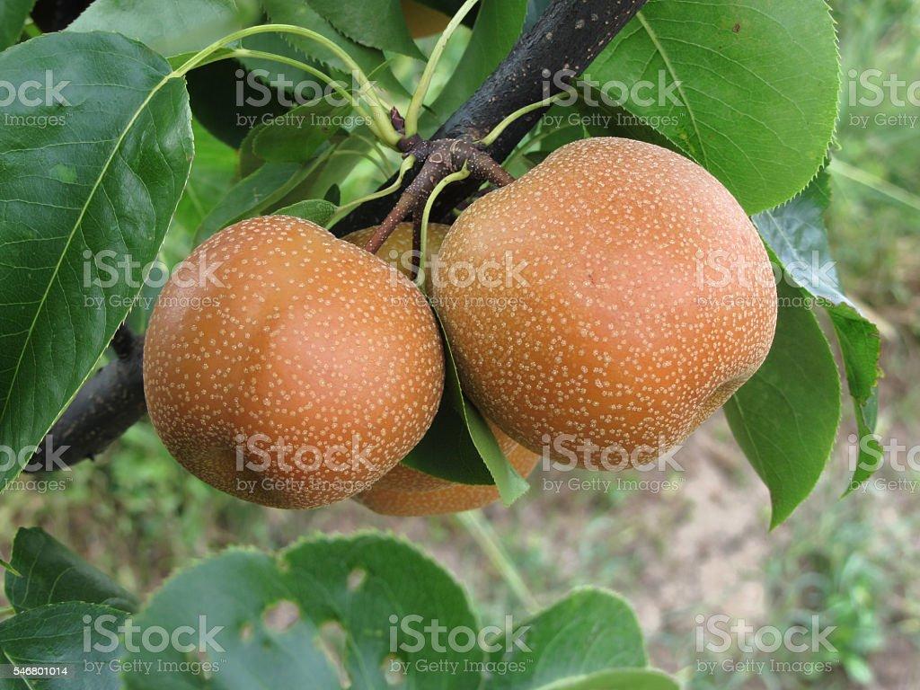 Nashi pears hanging on the tree stock photo