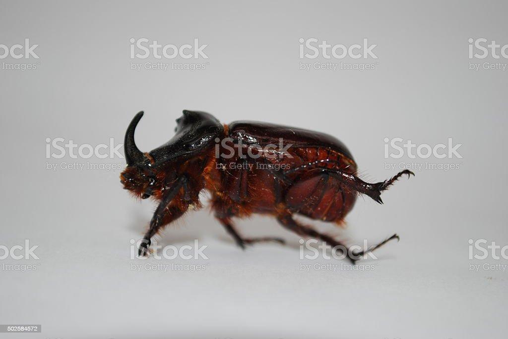 Nashornkäfer stock photo