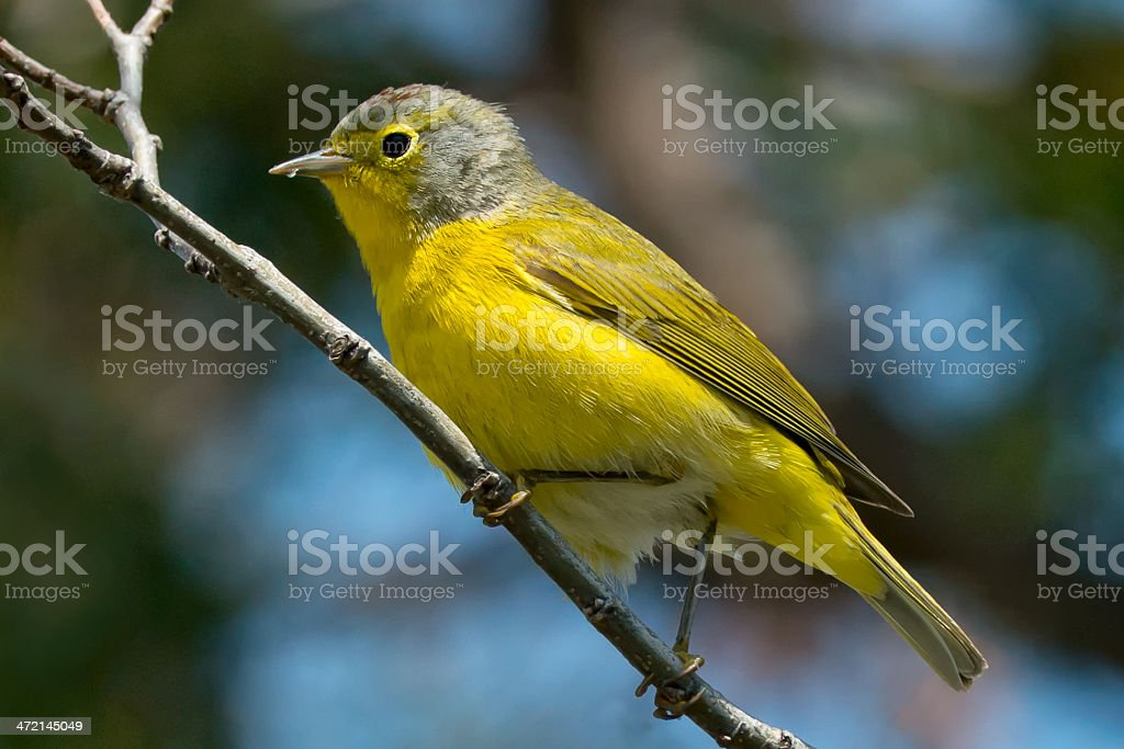 Nashville Warbler royalty-free stock photo
