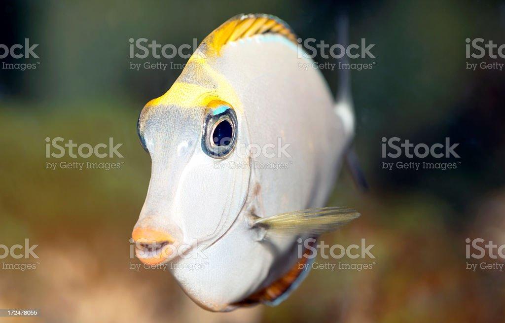 naso eleganse,Unicorn Fish stock photo