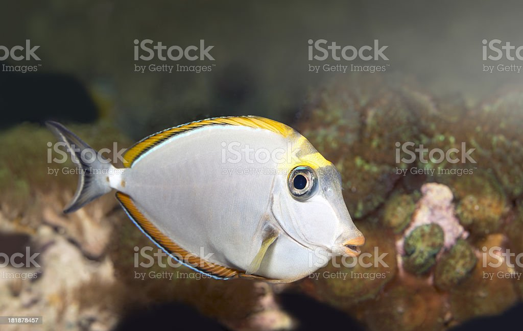 naso eleganse,Unicorn Fish stock photo