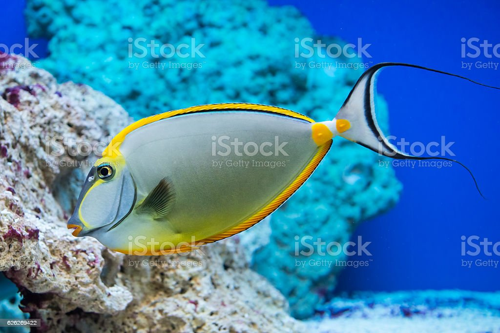 Naso lituratus - barcheek unicornfish stock photo